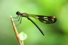 Black dragonfly Stock Image