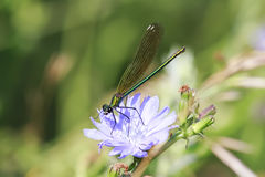 Black dragonfly sitting on a blue chicory flower Stock Image