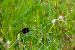 Black Dragonfly sitting on Cyperus rotundus royalty free stock image