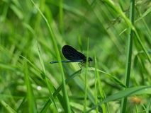 Black dragonfly. Sitting on a stem of grass Royalty Free Stock Image