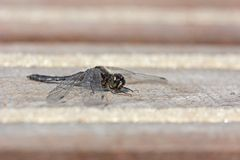 Black dragonfly warms up on deck Stock Photo