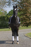 Black dressage horse Royalty Free Stock Photography