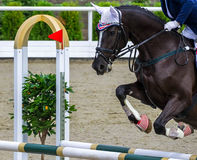 Black dressage horse and girl performing jump at show jumping competition. Equestrian sport background. Glossy black horse portrait during dressage competition Royalty Free Stock Photos