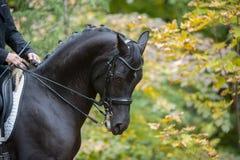 Black dressage horse portrait closeup royalty free stock images