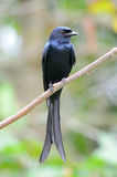Black drongo Stock Photo