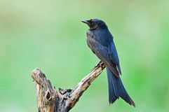 Black drongo Stock Photography