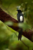 The black drongo is a Asian passerine bird of the drongo family. It is a common resident breeder in much of tropical southern Asia Royalty Free Stock Photography