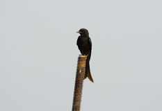 Black drongo Royalty Free Stock Photo