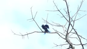 Black drongo bird stock video