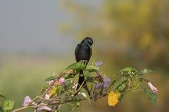 Black Drongo bird Stock Photo
