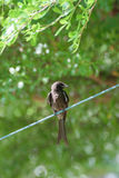 Black Drongo Bird on a rope Royalty Free Stock Photo
