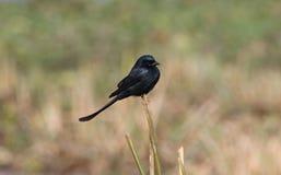 Black drongo bird Royalty Free Stock Photos