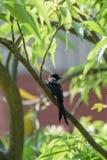 Black Drongo Bird on a tree Stock Photo