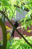 Black Drongo Bird on a tree Royalty Free Stock Photos