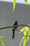 Black Drongo Bird on a tree Stock Photos