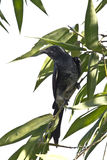 Black drongo bird in white background Royalty Free Stock Images