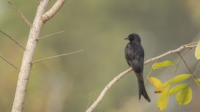 Black Drongo on Branch with Leaves. Black drongo, Dicrurus macrocercus, is perching on tree branch with leaves in Phutoei National Park, Thailand Stock Images