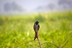 Black drongo Royalty Free Stock Image