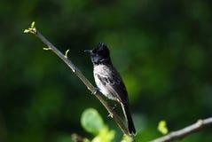 The black drongo Dicrurus macrocercus stock photos