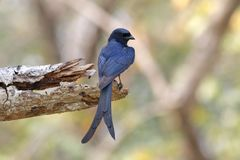 Black Drongo Dicrurus macrocercus Beautiful Birds of Thailand. Black Drongo Dicrurus macrocercus Beautiful Bird of Thailand Stock Photos