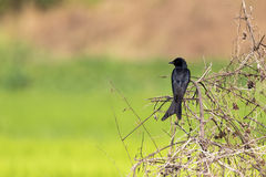 Black Drongo Dicrurus macrocercus on the branch. Black Drongo Dicrurus macrocercus on the branch on nature background. Wild Animals. Bird Stock Images