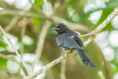 Black Drongo Royalty Free Stock Photo