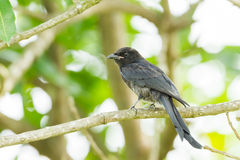 Black Drongo Royalty Free Stock Images