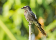 Black Drongo Stock Image