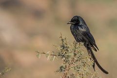Black Drongo Dicrurus macrocercus perched on branch. stock photography