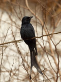 Black drongo Royalty Free Stock Photos
