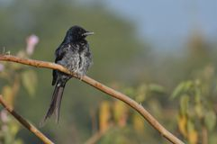 Black Drongo. (Dicrurus macrocercus) is a bird of Drongo family evenly distributed in most parts of Central India. They are resident breeders in their range but Royalty Free Stock Images