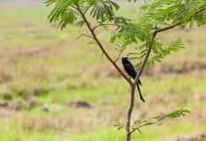 Black Drongo Royalty Free Stock Image
