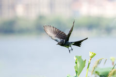 Black drongo on lotus seed Stock Images