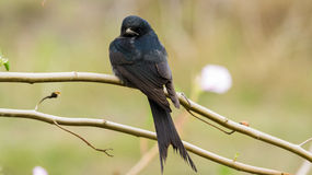 Black Drongo bird on brach, macrocercus Royalty Free Stock Photos