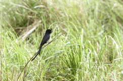 Black Drongo perched on the grass of Dhikala Stock Image