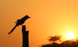 Black Drongo at sunset Stock Photo