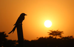 Black Drongo at sunset Royalty Free Stock Photos