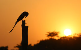 Black Drongo at sunset Royalty Free Stock Photo