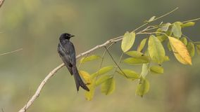 Black Drongo on Tree Branch. Black drongo, Dicrurus macrocercus, is perching on tree branch with leaves in Phutoei National Park, Thailand Stock Photo