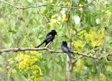 Black Drongo on a tree in Jim Corbett Stock Photos