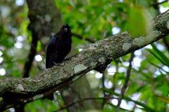 black drongoen Fotografering för Bildbyråer