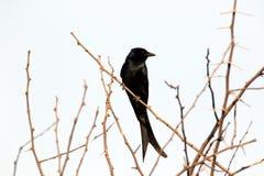 black drongoen Arkivbilder