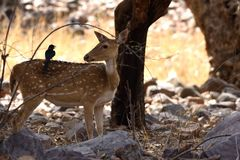 Black drongoon the back of a Spotted Deer. In Ranthambore National park in India Stock Photo