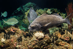 Black drum atlantic ocean fish underwater close up Stock Photos