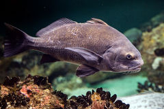 Black drum atlantic ocean fish underwater close up Royalty Free Stock Photography