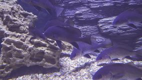 Black drum in saltwater aquarium stock footage video stock video