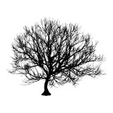 Black dry tree winter or autumn silhouette on white background.  illustration.  Stock Photo