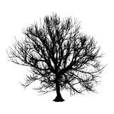 Black dry tree winter or autumn silhouette on white background.  illustration.  Royalty Free Stock Photo