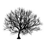 Black dry tree winter or autumn silhouette on white background. Vector eps10 illustration.  Royalty Free Stock Image
