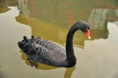 Black duck. A black duck in the pond Stock Photos